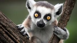 4K Lemur Wallpaper