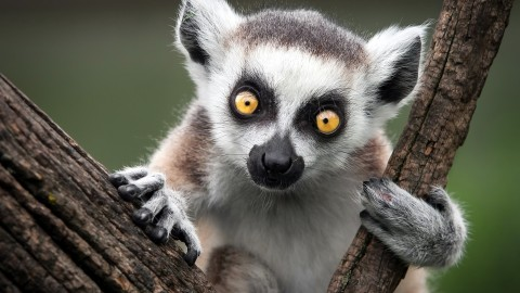 4K Lemur wallpapers high quality