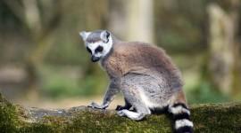 4K Lemur Wallpaper For Desktop