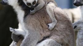 4K Lemur Wallpaper For IPhone