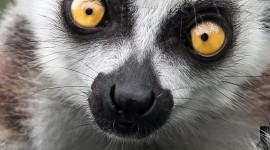 4K Lemur Wallpaper For Mobile