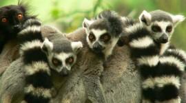 4K Lemur Wallpaper For PC
