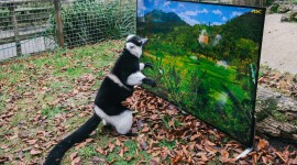 4K Lemur Wallpaper Full HD