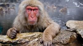 4K Monkey Desktop Wallpaper