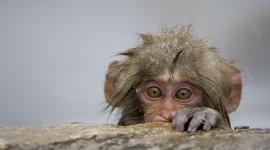 4K Monkey Wallpaper Download