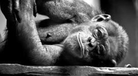 4K Monkey Wallpaper Download Free