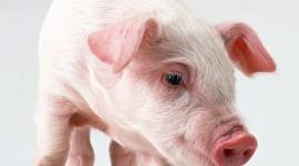 4K Piggy Photo