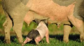 4K Piggy Photo Free