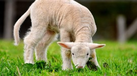 4K Sheep Photo Download