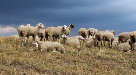 4K Sheep Photo Free