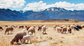 4K Sheep Wallpaper Download Free