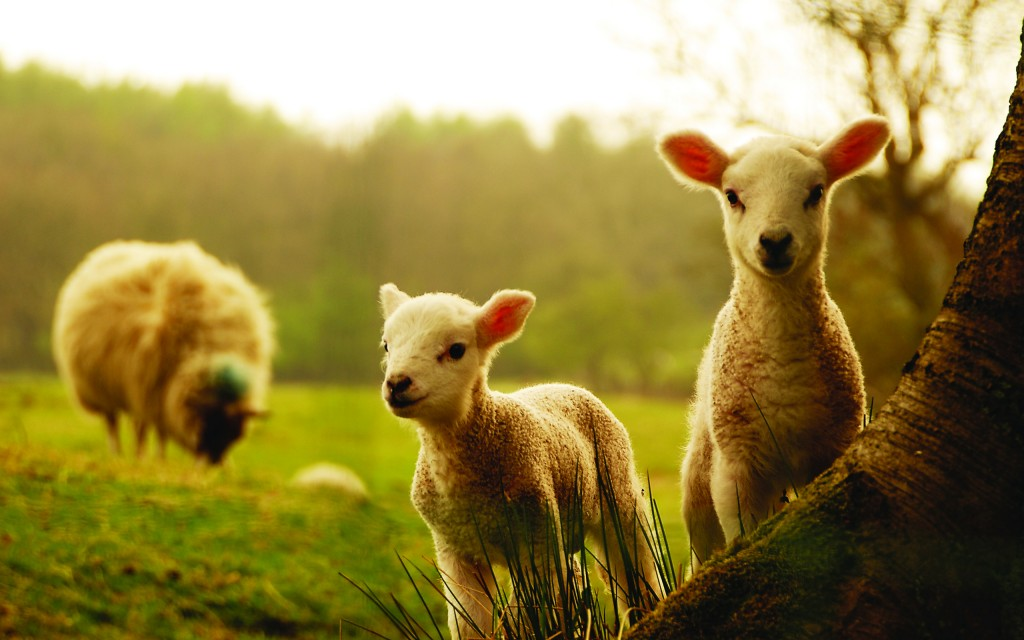4K Sheep wallpapers HD