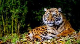 4K Tigris Best Wallpaper