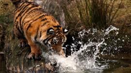 4K Tigris Desktop Wallpaper