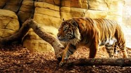 4K Tigris Desktop Wallpaper HD