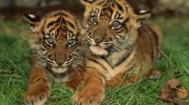 4K Tigris Photo Download
