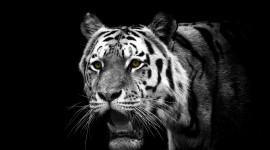 4K Tigris Photo#1