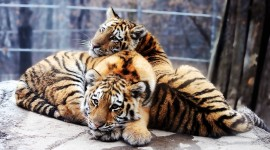 4K Tigris Photo#4