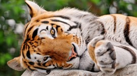 4K Tigris Wallpaper 1080p