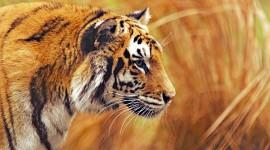 4K Tigris Wallpaper