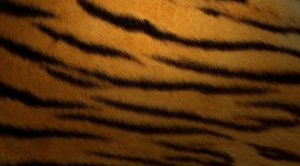 4K Tigris Wallpaper Background