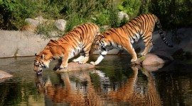 4K Tigris Wallpaper Download