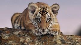 4K Tigris Wallpaper For Desktop
