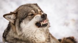 4K Wolves Desktop Wallpaper