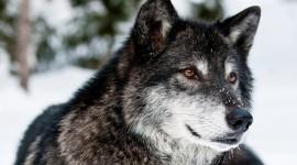 4K Wolves Desktop Wallpaper For PC