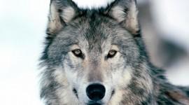 4K Wolves Desktop Wallpaper HD