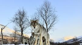 4K Wolves Photo