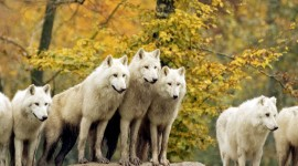4K Wolves Photo Download