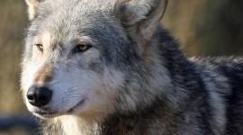 4K Wolves Photo Free