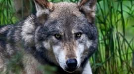 4K Wolves Photo#1