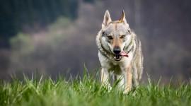4K Wolves Photo#2
