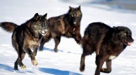4K Wolves Pics