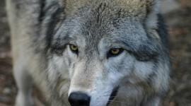 4K Wolves Wallpaper 1080p