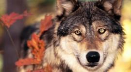 4K Wolves Wallpaper