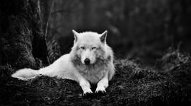 4K Wolves Wallpaper Download Free