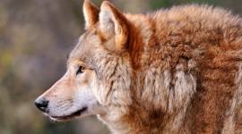 4K Wolves Wallpaper For Desktop