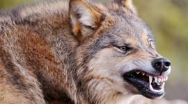 4K Wolves Wallpaper For PC