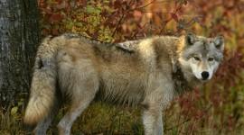 4K Wolves Wallpaper For PC#1