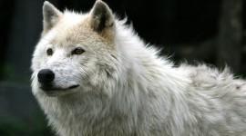 4K Wolves Wallpaper Free