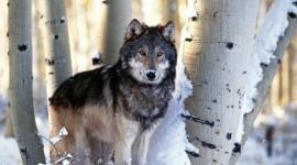 4K Wolves Wallpaper Full HD