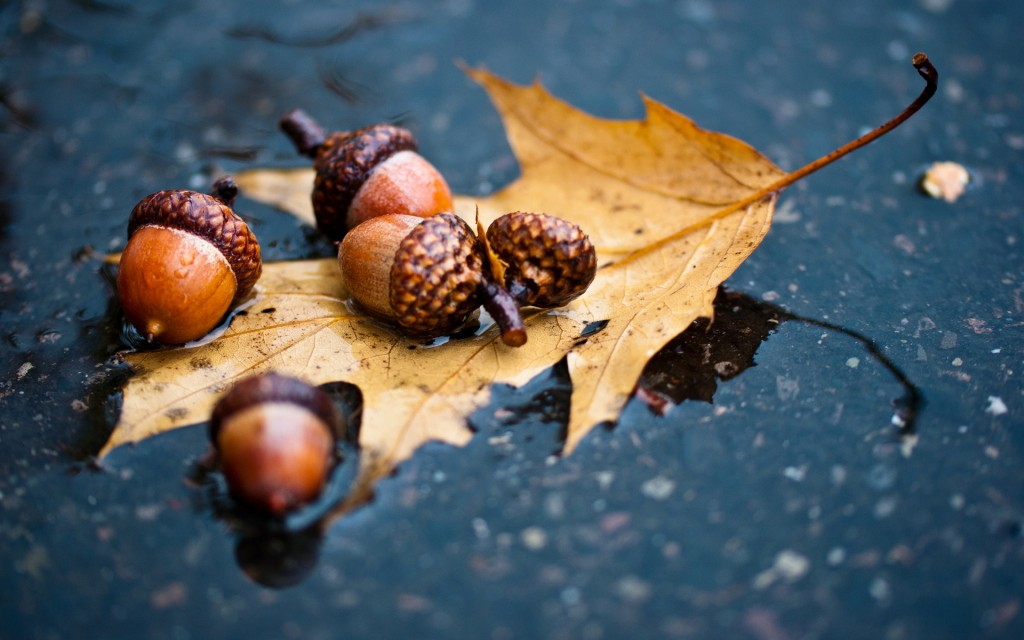 Acorns wallpapers HD