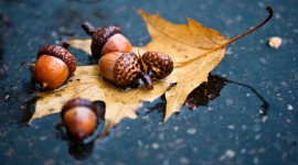 Acorns High Quality Wallpaper
