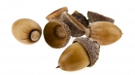 Acorns Wallpaper High Definition