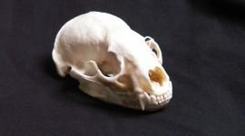 Animal Skull Desktop Wallpaper