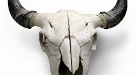 Animal Skull Wallpaper For Mobile
