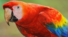 Ara Parrot Wallpaper Widescreen